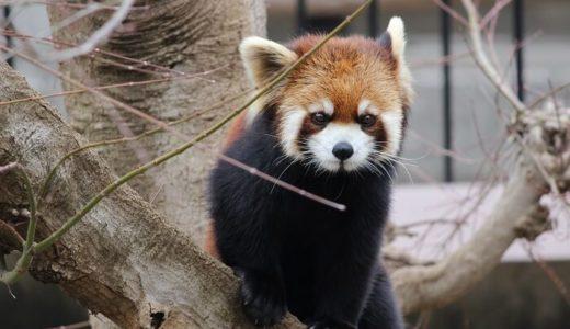 可愛いレッサーパンダを市川市動植物園で激写したので疑似コメント付きで写真をアップしてみる